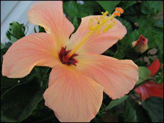 Peach-hibiscus