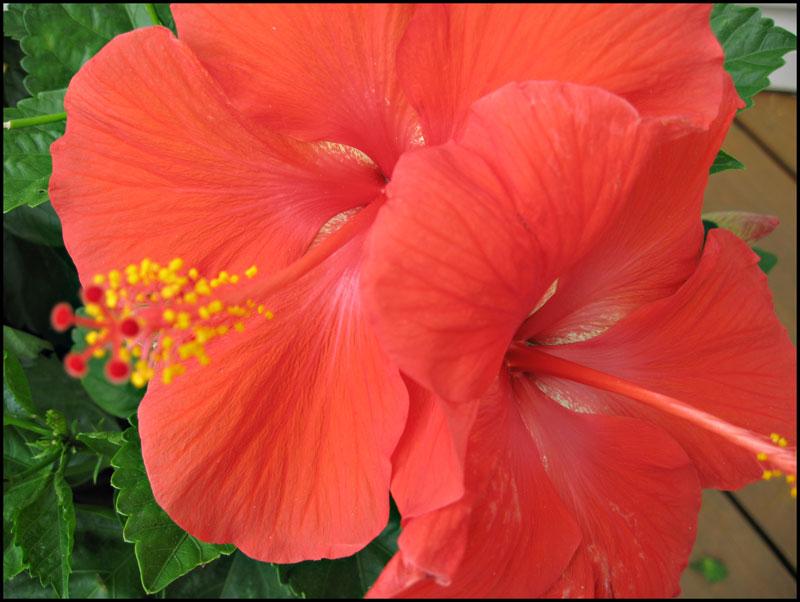 Double-hibiscus-02