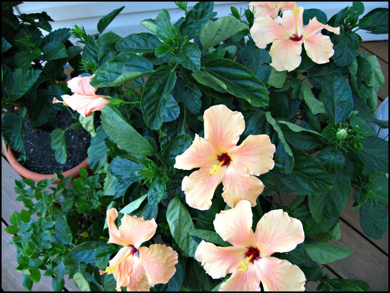 Hibiscus-Multiple-Blooms