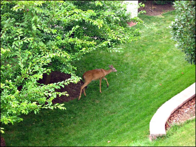 Deer-in-the-backyard