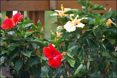 Hibiscus-in-bloom