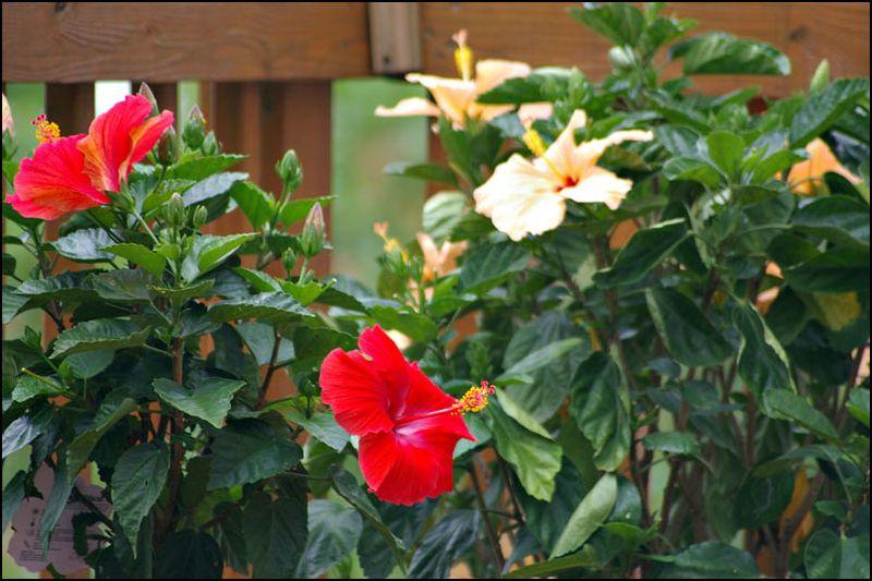 Hibiscus-in-bloom